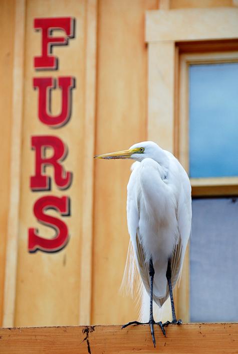 Snowy Egret in Magic Kingdom