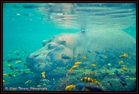 Hippopotamus underwater on the Pangani Forest Exploration Trail in Disney's Animal Kingdom, Walt Disney World, Orlando, Florida