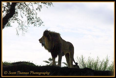 African Lion on the Kilimanjaro Safari in Disney's Animal Kingdom, Walt Disney World, Orlando, Florida