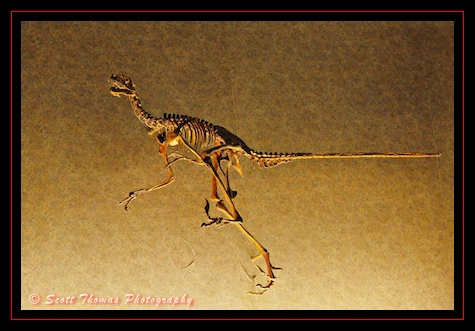Skeleton of a Dromaeosaurus in the queue for Dinosaur in Disney's Animal Kingdom, Walt Disney World, Orlando, Florida