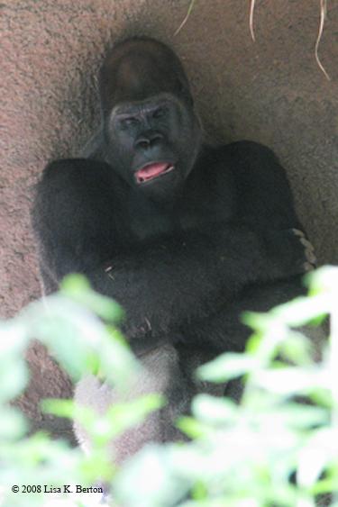 gorilla_sleeping.jpg