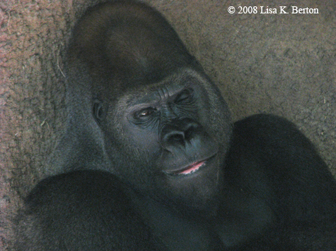 gorilla_winking.jpg
