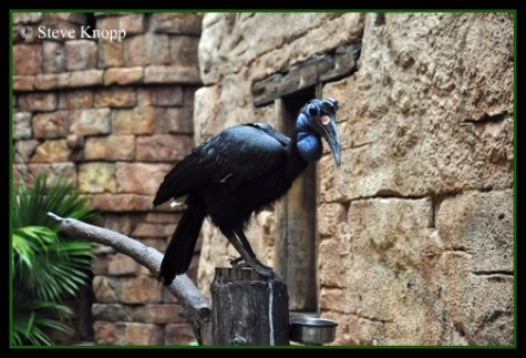 Abyssinian Ground Hornbill in the Flights of Wonder at Disney's Animal Kingdom, Walt Disney World, Orlando Florida.