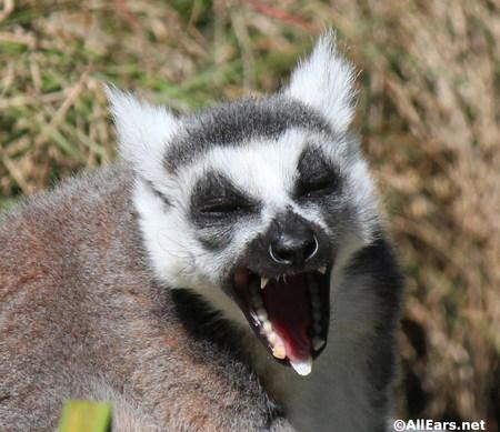 lemur2013.jpg