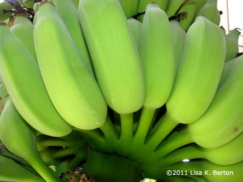 lkb-SeedsTour-Bananas.jpg