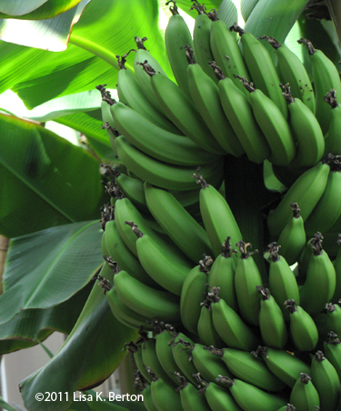 Give Thanks for Bananas (Picture This!)