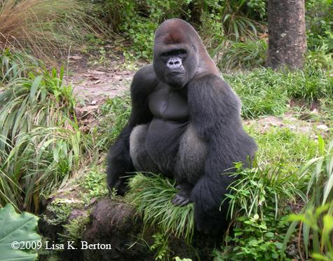 lkb_gorilla_nothumb.jpg