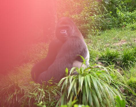 lkb_gorilla_thumb.jpg