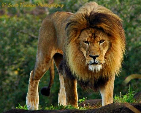 Male African Lion on the Kilimanjaro Safari in Disney's Animal Kingdom, Walt Disney World, Orlando, Florida