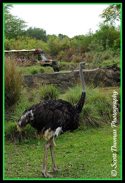 Ostrich seen on Disney's Animal Kingdom's Kilimanjaro Safari, Walt Disney World, Orlando, Florida