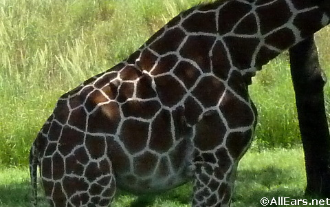 reticulated-girafe.jpg