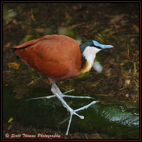 An African Jacana on the Pangani Forest Exploration Trail in Disney's Animal Kingdom, Walt Disney World, Orlando, Florida