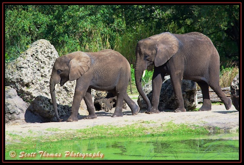 Two young African elephants photographed on the Kilimanjaro Safari through the Harambe Reserve of Africa in Disney's Animal Kingdom, Walt Disney World, Orlando, Florida