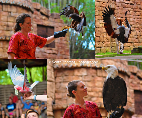 Birds of the Flights of Wonder show in Disney's Animal Kingdom, Walt Disney World, Orlando, Florida