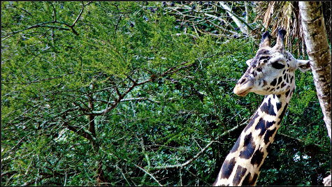 Reticulated Giraffe photographed on Disney's Kilimanjaro Safari in the Animal Kingdom, Walt Disney World, Orlando, Florida