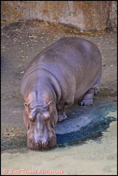 Hippopotamus on the Wild Africa Trek in Disney's Animal Kingdom, Walt Disney World, Orlando, Florida