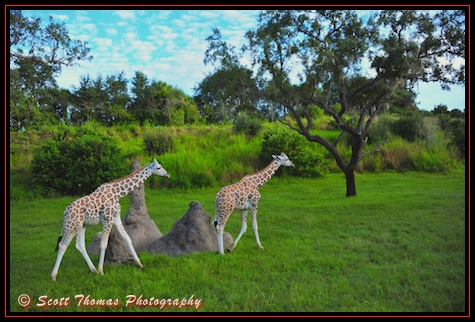 Two young reticulated giraffes seen on the Kilimanjaro Safari in Disney's Animal Kingdom, Walt Disney World, Orlando, Florida