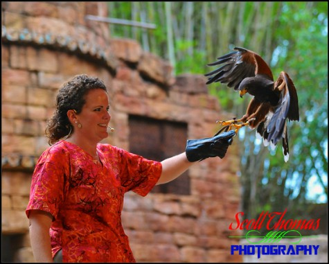 Harris Hawk landing on a handler's glove in the Flights of Wonder show at Disney's Animal Kingdom, Walt Disney World, Orlando, Florida