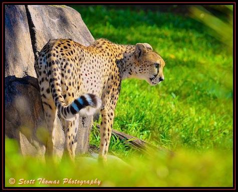 Cheetah photographed during a Disney's Kilimanjaro Safari ride in Disney's Animal Kingdom, Walt Disney World, Orlando, Florida