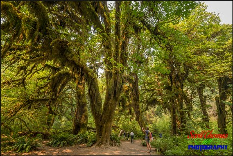 Hall of Mosses Trail in the Hoh Rain Forest of the Olympic National Park near Forks, Washington