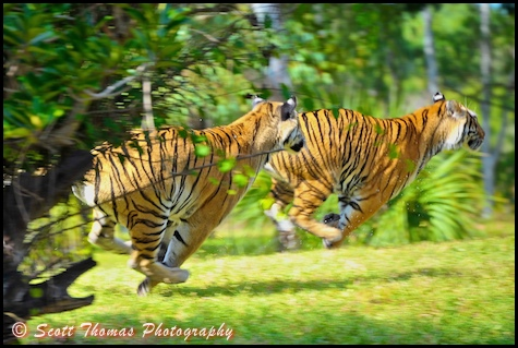 Tiger chases another at Disney's Animal Kingdom, Walt Disney World, Orlando, Florida.