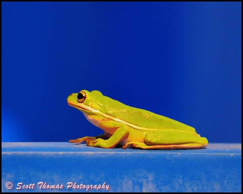 Green Treefrog (Hyla cinerea) on a railing at the All Star Sports resort, Walt Disney World, Orlando, Florida.