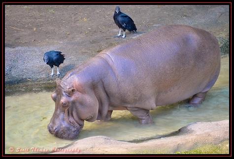 A female hippopotamus walks towards the water after sunning itself seen on the Wild Africa Trek in Disney's Animal Kingdom, Walt Disney World, Orlando, Florida.