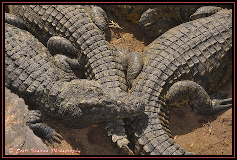 Large Nile Crcodile males photographed from a rope bridge on the Wild Africa Trek in Disney's Animal Kingdom, Walt Disney World, Orlando, Florida.