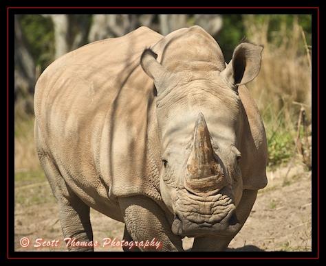 http://land.allears.net/blogs/photoblog/white%20rhinoceros_st.jpg