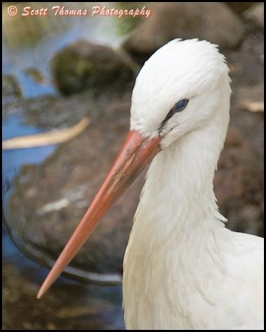 White Stork portrait on Discovery Island in Disney's Animal Kingdom, Walt Disney World, Orlando, Florida