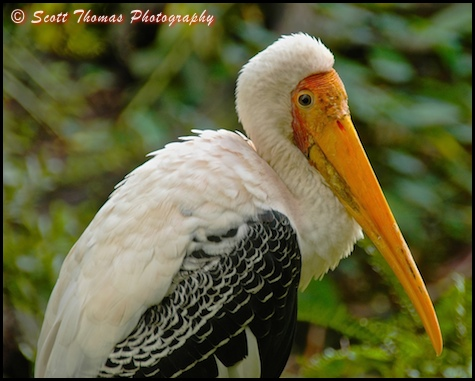 Yellow-billed Stork portrait in Disney's Animal Kingdom, Walt Disney World, Orlando, Florida