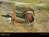 Disney World Wallpaper Mandarin Duck