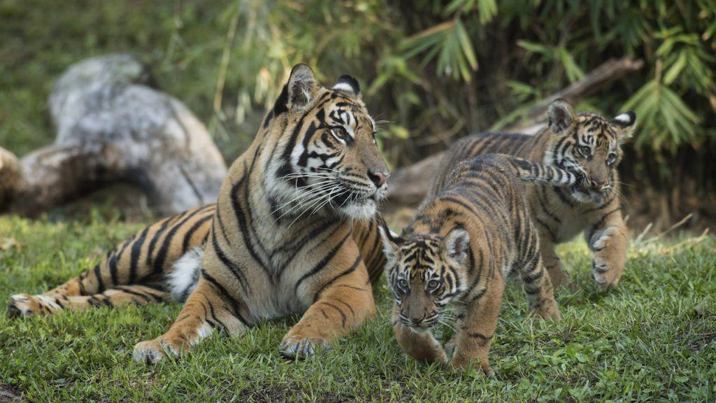 Welcome Sumatran Tiger Cubs to Maharajah Jungle Trek