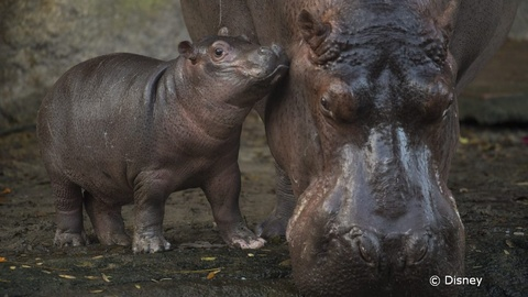 Kilimanjaro Safari Home to New Baby Hippo