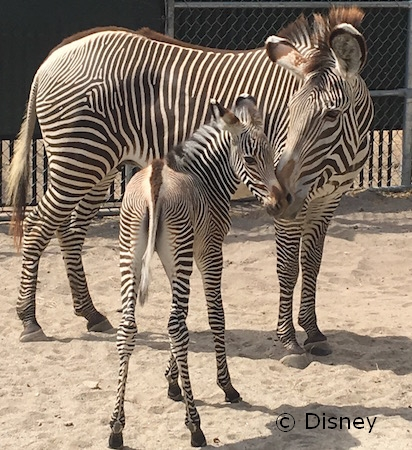 Zebra Foals Now on Animal Kingdom Trail