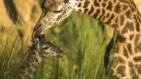 Baby Giraffe Welcomed onto Kilimanjaro Safaris Savanna!
