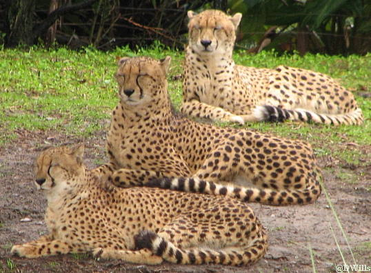 Eland P O Taken At Animal Kingdom Lodge