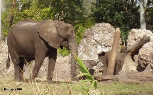 Nadirah Baby Elephant in Animal Kingdom