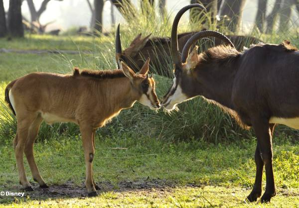 Giant Sable Antelope Baby