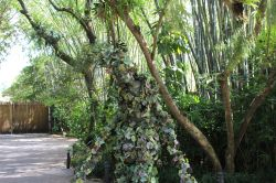 Divine - Walking Vine in Animal Kingdom