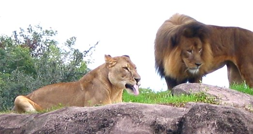 Lions on Kilimanjaro Safari
